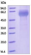 SDS-PAGE - Recombinant Human ILT-3 protein (Fc Chimera) (ab179985)