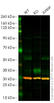 Western blot - Anti-Myc tag antibody [Myc.A7] (ab18185)