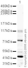 Western blot - Anti-Chp1 antibody (ab18191)