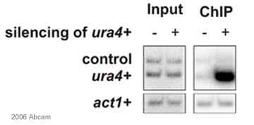 ChIP - Anti-Chp1 antibody (ab18191)