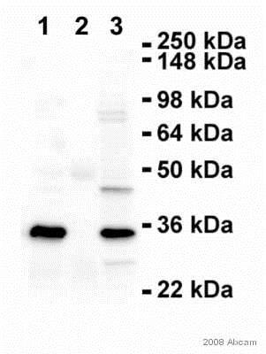 Immunoprecipitation - Anti-PCNA antibody (ab18197)