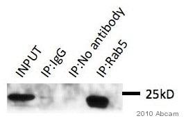 Immunoprecipitation - Anti-Rab5 antibody - Early Endosome Marker (ab18211)