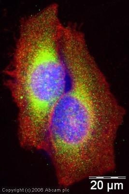 Immunocytochemistry/ Immunofluorescence - Anti-Rab5 antibody - Early Endosome Marker (ab18211)