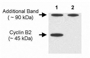 Western blot - Anti-Cyclin B2/CCNB2 antibody [X29.2] (ab18250)