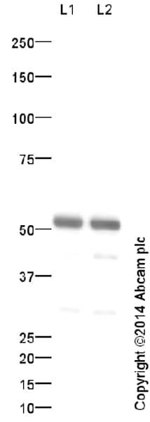 Western blot - Anti-alpha Tubulin antibody (ab18251)