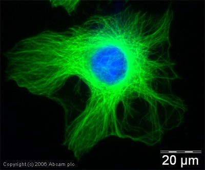 Immunocytochemistry/ Immunofluorescence - Anti-alpha Tubulin antibody (ab18251)