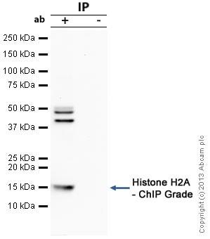 Immunoprecipitation - Anti-Histone H2A antibody - ChIP Grade (ab18255)