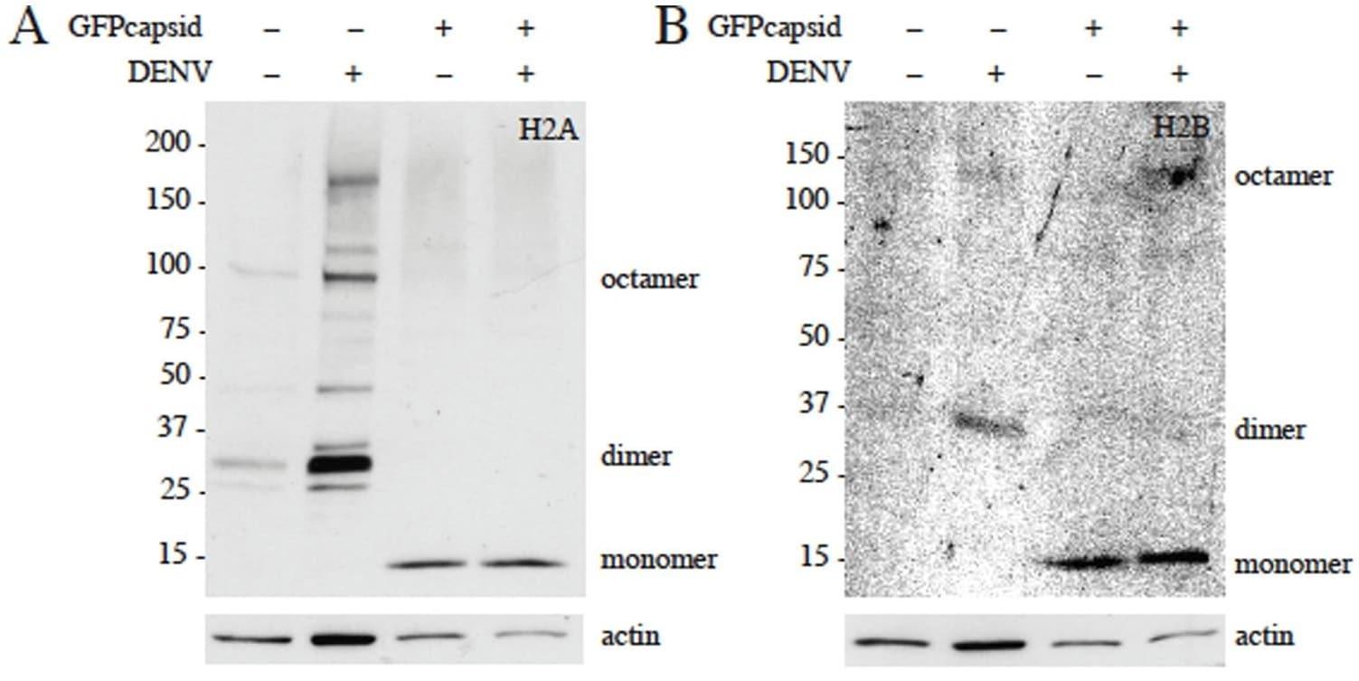 Western blot - Anti-Histone H2A antibody - ChIP Grade (ab18255)