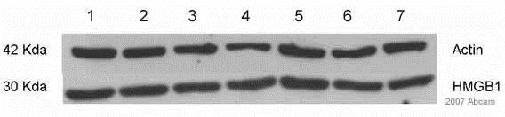 Western blot - Anti-HMGB1 antibody - ChIP Grade (ab18256)