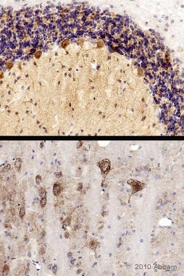 Immunohistochemistry (Formalin/PFA-fixed paraffin-embedded sections) - Anti-PSD95 antibody - Synaptic Marker (ab18258)