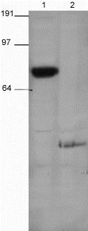 Western blot - Anti-PSD95 antibody (ab18258)