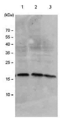 Western blot - Anti-Histone H3 antibody (ab18521)