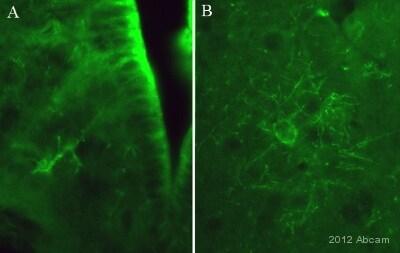 Immunohistochemistry (PFA perfusion fixed frozen sections) - Anti-NMDAR2B (phospho Y1252) antibody (ab18532)
