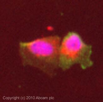 Immunocytochemistry/ Immunofluorescence - Anti-Sialoadhesin antibody [HSn 7D2] (ab18619)