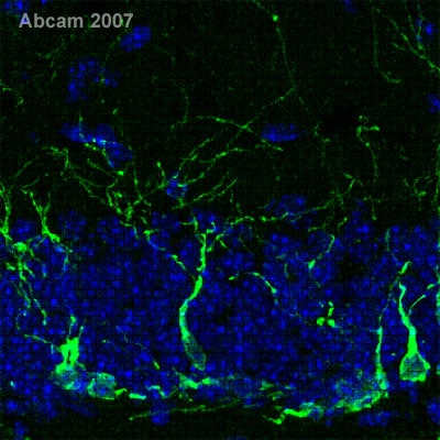 Immunohistochemistry (Frozen sections) - Anti-Doublecortin antibody (ab18723)