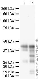 Western blot - Anti-Doublecortin antibody (ab18723)