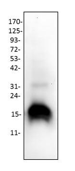 Western blot - Anti-Cytochrome C antibody (ab18738)