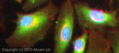 Immunocytochemistry/ Immunofluorescence - Anti-Caspase-12 antibody (ab18766)
