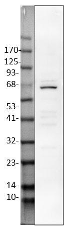 Western blot - Anti-pan-AKT antibody (ab18785)