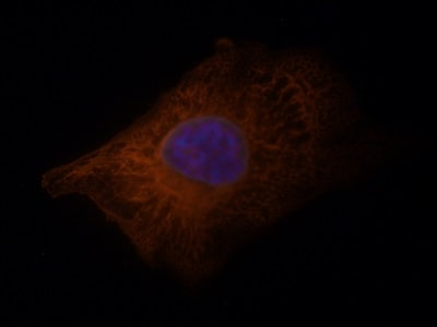 Immunocytochemistry/ Immunofluorescence - Anti-pan-AKT antibody (ab18785)