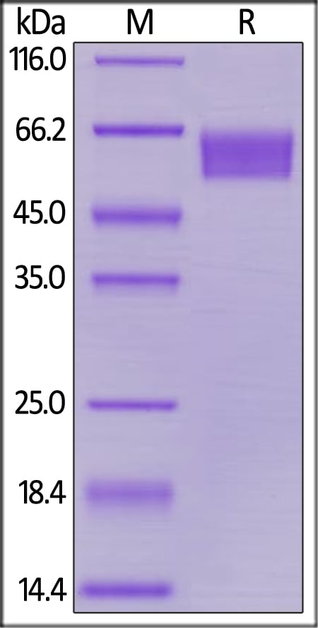 SDS-PAGE - Recombinant human CD27 protein (Fc Chimera) (ab180048)