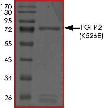 SDS-PAGE - Recombinant human FGFR2 (mutated K526 E) protein (ab180049)