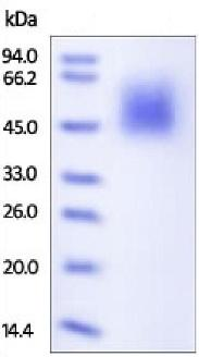 SDS-PAGE - Recombinant human CD80 protein (ab180050)