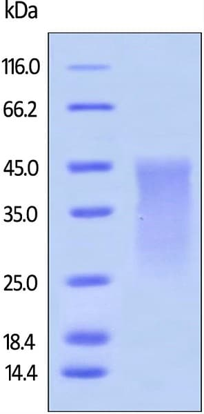 SDS-PAGE - Recombinant mouse PD1 protein (ab180051)