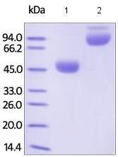 SDS-PAGE - Recombinant human CTLA4 protein (Fc Chimera Active) (ab180054)