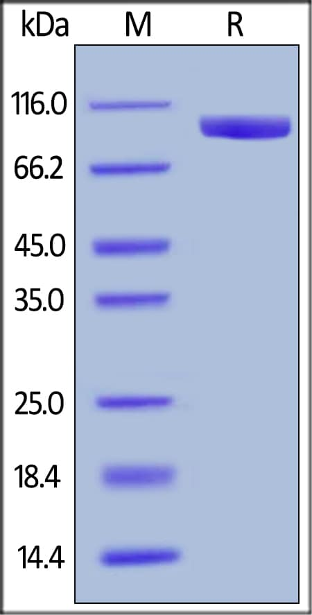 SDS-PAGE - Recombinant human LILRB1 protein (Fc Chimera Active) (ab180057)