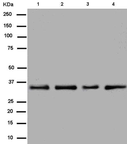 Western blot - Anti-Heterogeneous Nuclear Ribonucleoprotein (A1-like)  antibody [EPR13673] (ab180124)