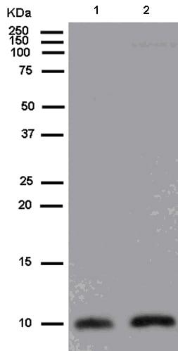Western blot - Anti-LSM10 antibody [EPR13843] (ab180128)