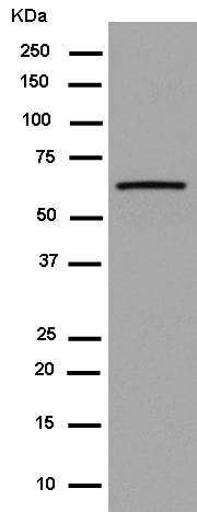 Western blot - Anti-RNF21/IFP1 antibody [EPR11305(2)] (ab180130)