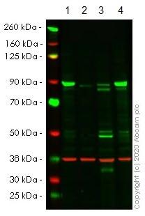 Western blot - Anti-APPL antibody [EPR13569] (ab180140)