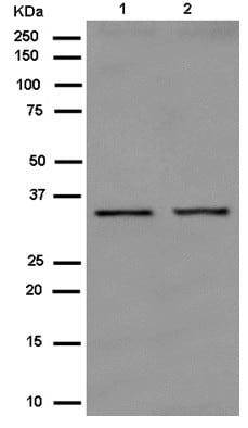 Western blot - Anti-Orai2 antibody [EPR10043(2)] - C-terminal (ab180146)