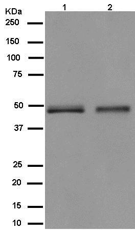 Western blot - Anti-CPVL antibody [EPR13153] (ab180147)