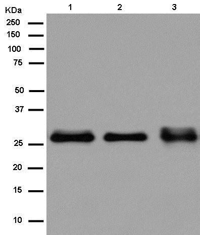 Western blot - Anti-C19orf63 antibody [EPR13223-65] (ab180148)