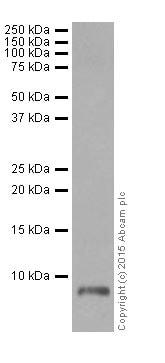 Western blot - Anti-ATP5G1/G2/G3 antibody [EPR13908] (ab180149)