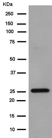 Western blot - Anti-POLR2E/rpb5 antibody [EPR11750] (ab180151)