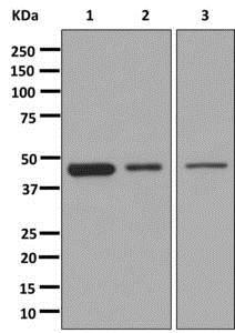 Western blot - Anti-PDK1 antibody [EPR13015] - C-terminal (ab180171)