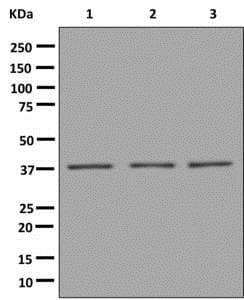Western blot - Anti-VPS26 antibody [EPR13455(B)] - N-terminal (ab180172)