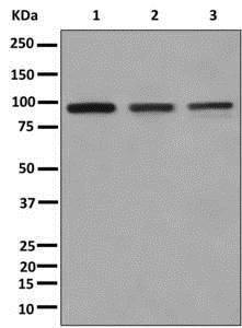 Western blot - Anti-XAB2 antibody [EPR8971] (ab180181)