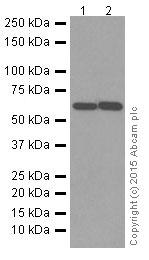 Western blot - Anti-Activin Receptor Type IIB/ACVR2B antibody [EPR10739] (ab180185)