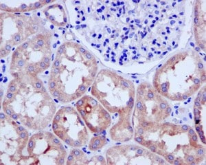 Immunohistochemistry (Formalin/PFA-fixed paraffin-embedded sections) - Anti-USP9x antibody [EPR13809(B)] - N-terminal (ab180191)