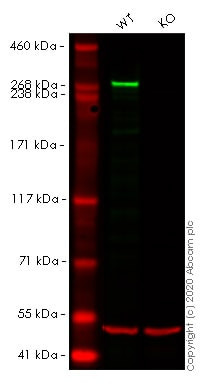Western blot - Anti-USP9x antibody [EPR13809(B)] - N-terminal (ab180191)
