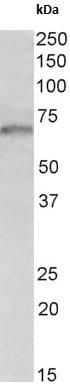 Western blot - Anti-GRB10 antibody - N-terminal (ab180218)