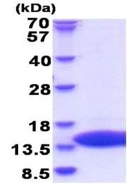 SDS-PAGE - Recombinant Dengue Virus 2 Dengue Virus 2 envelope protein (ab180271)