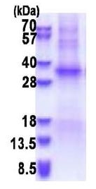 SDS-PAGE - Recombinant Human TSSK6 protein (BSA and azide free) (denatured) (ab180300)