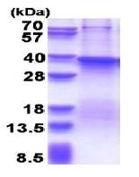SDS-PAGE - Recombinant Human FUT7 protein (denatured) (ab180311)