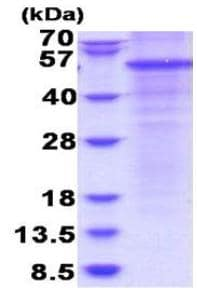 SDS-PAGE - Recombinant Human Properdin/PFC protein (denatured) (ab180316)